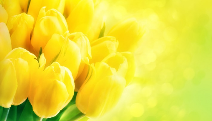 Yellow tulips on green background with bokeh. Beautiful yellow tulips close up. Easter border design. Copy space for your text. Valentine's Day and Mother's Day background.